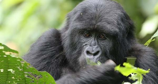 Gorilla tracking expeditions Uganda